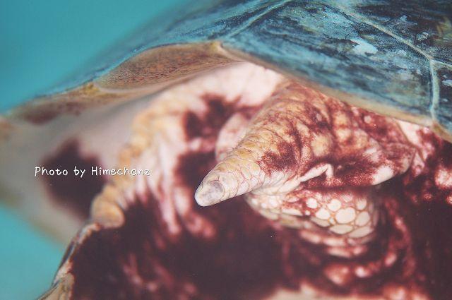 105mmだと一部しか撮れない・・・。アオウミガメのおしり。