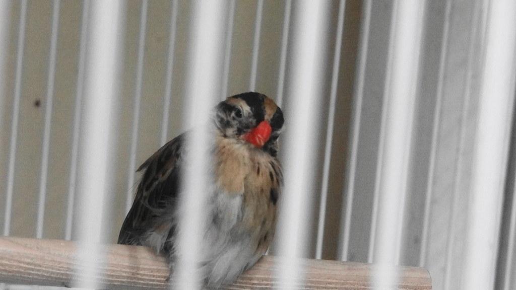 ペットショップの天人鳥メス