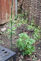 Aroma-Hopfen ausgepflanzt