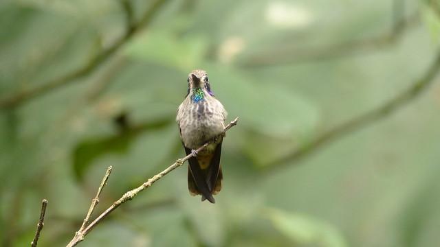 Brown violet-ear - Colibri de Delphine - Colibri delphinae