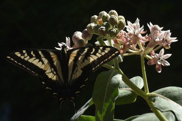 Pale Swallowtail (Papilio eurymedon) butterfly on Showy Milkweed