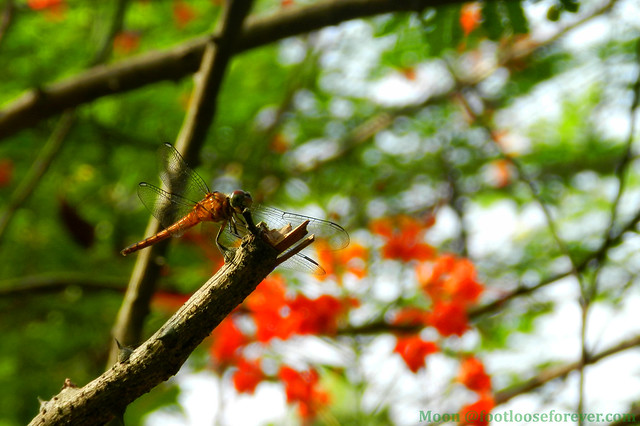 Dragonfly on Krishna Chura (Royal Poinciana or Flamboyant) - Shibpur Botanical Garden #Kolkata