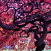 Japanese Maple by hbp_pix