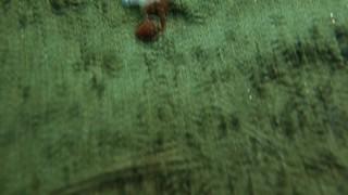 Bubble Shell eating a cirratulid polychaete worm (Spaghetti worm)