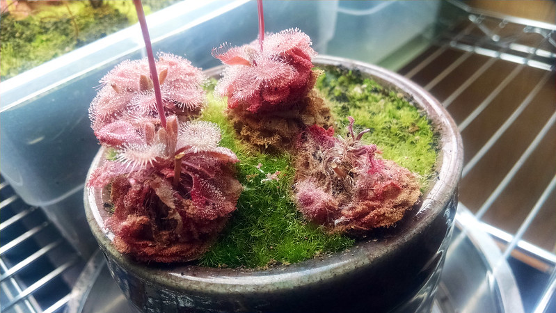 Drosera burmannii with caterpillar damage.
