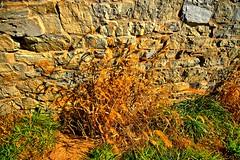 Senescing plant