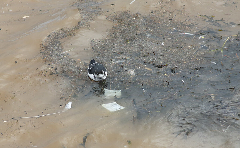 Little Auk - if the weather or the gulls don't get it, the human rubbish will