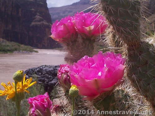Cacti blossoms at Lava Falls, Grand Canyon-Parashant National Forest, Arizona