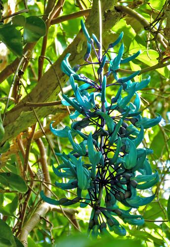 liane de jade corne du cerf
