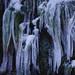 寒菅の氷柱