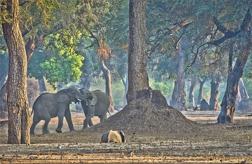 africa elephant safari zimbabwe manapools