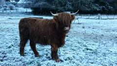 muskox(0.0), bison(0.0), wildlife(0.0), cattle-like mammal(1.0), animal(1.0), winter(1.0), snow(1.0), mammal(1.0), fauna(1.0), cattle(1.0), yak(1.0),