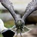 Owl Take Off - Healesville Sanctuary