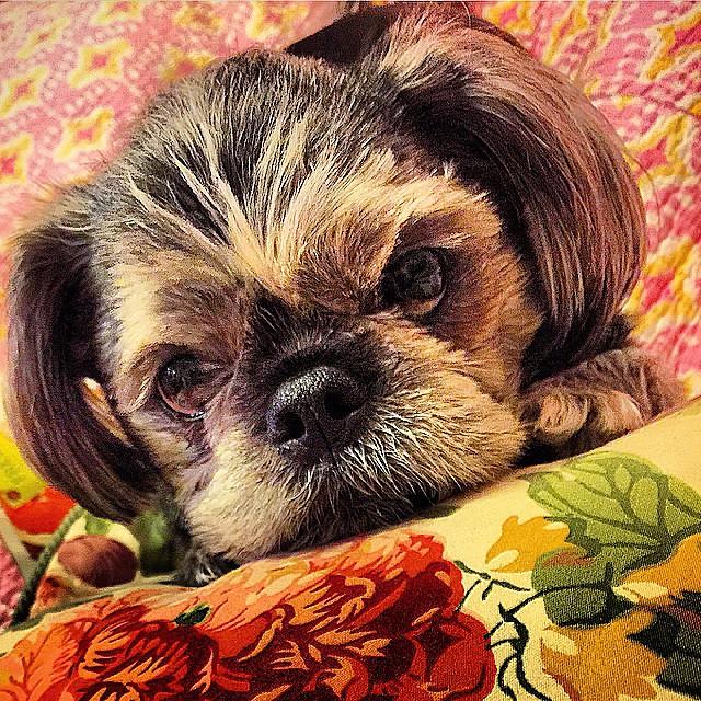 My #sweet #baby #chamba #dog #pug #shitzu mix in burbs of #Detroit