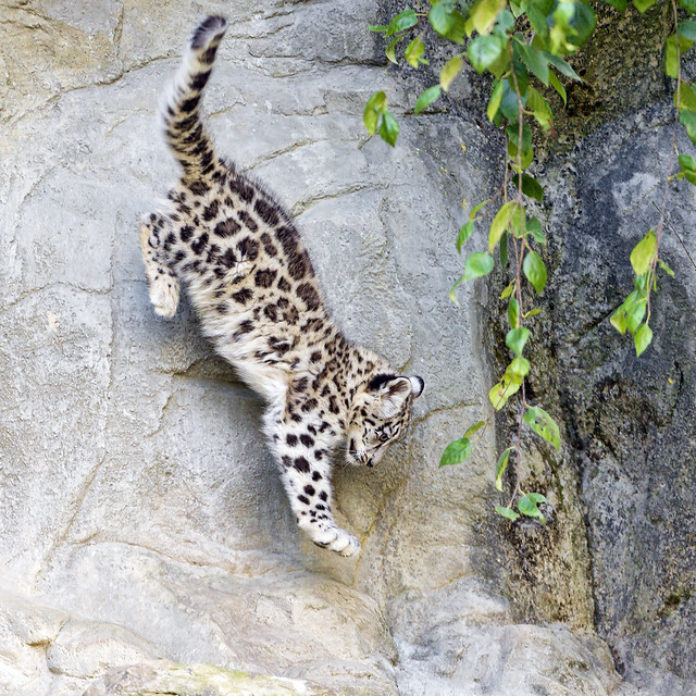 Snow leopard cub jumping down!