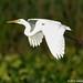 Great Egret, Birds of John Heinz Wildlife Refiuge by alan jackman