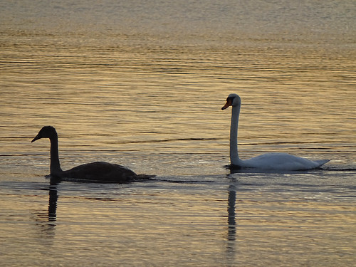 sunset bird river swan