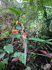 Coral Creeper Karri undergrowth #Pemberton