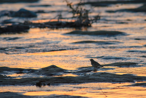 Water pipit at dusk