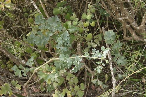Pelargonium gibbosum in habitat