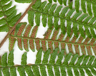 Picture of Fern Spores