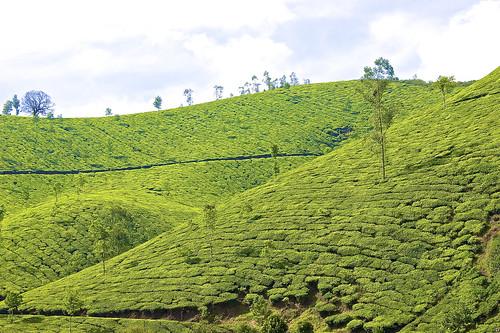 Munnar tea plantations greenery