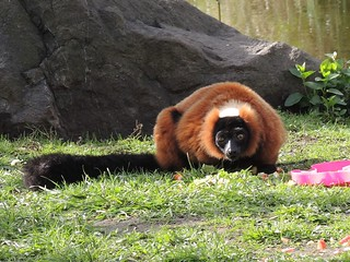Red Ruffed Lemur | by TamanduaGirl