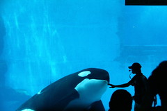 Orca assassina / Killer whale - Nagoya Aquarium - Japan