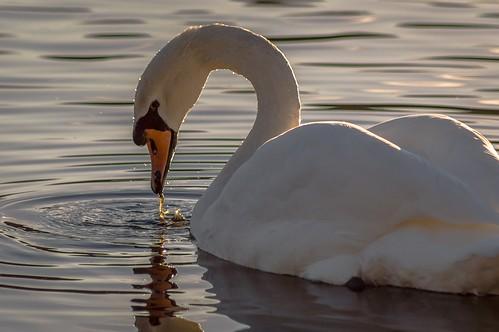 bird nature water swan reserve ripples rodley