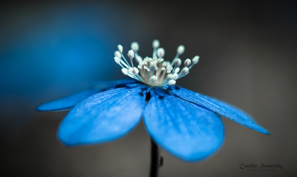 Blue Anemone Hepatica