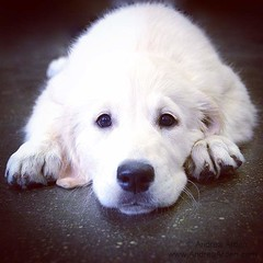 dog breed, nose, animal, puppy, dog, pet, maremma sheepdog, slovak cuvac, golden retriever, carnivoran, great pyrenees,