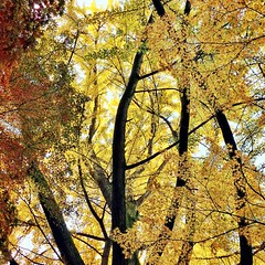 golden #ginko grove