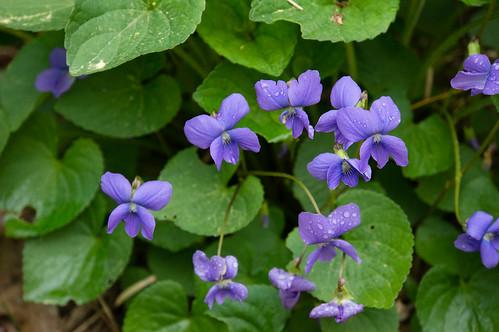 05806 Violet