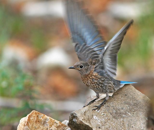 Western BlueBird 20d_7794