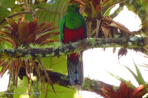 white-tipped quetzal, Pharomachrus fulgidus  an amazing view during our birding tour