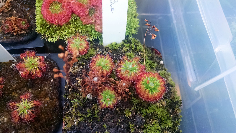 Drosera enodes with gemmae.