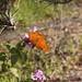Gulf Fritillary Butterfly In My Garden 2015 - 11