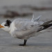 Royal Tern by toryjk