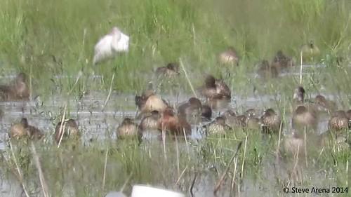 bird birds duck video louisiana teal cite 2014 cinnamonteal anascyanoptera videograph jeffersondavisparish recordvideo videographed