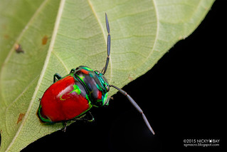 Shield-backed bug (Chrysocoris eques) - DSC_7269