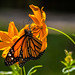 Monarch butterfly by haroonalkhan