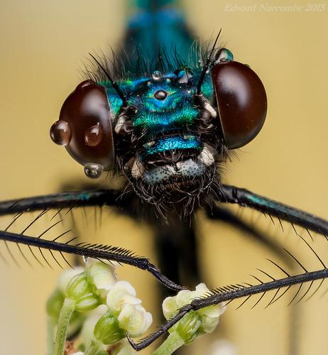 nottingham macro closeup damselfly odonata zygoptera westbridgford calopterygidae focusstack bandeddemoiselle calopteryxsplendens mpe65mm zerene canon5dmkii 430exiispeedlite edwardnurcombe eddiethebugman