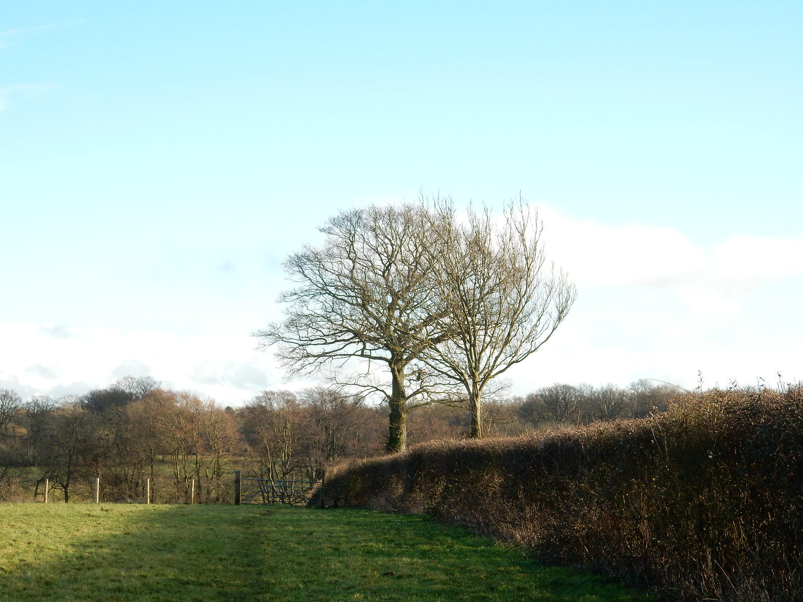 Trees with hedge Hayes to Knockholt