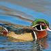Wood Duck by Brian E Kushner