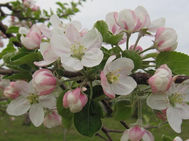 Apple flower 2016, Canon IXY DIGITAL 510 IS