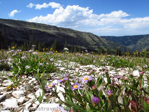 Wildflowers along the Meadow Route in Upper Darby Canyon, Jedediah Smith Wilderness near Grand Teton National Park, Wyoming