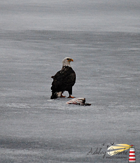 Eagle on Grand Lake