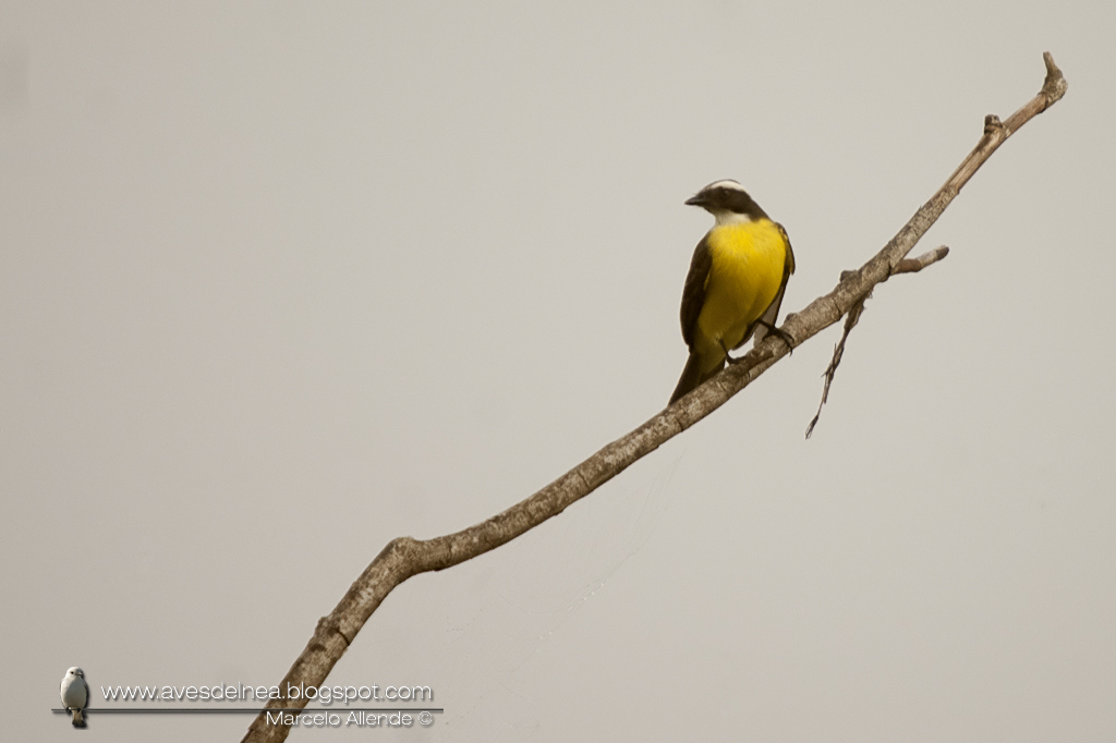 Benteveo mediano (Vermilion-crowned Flycatcher) Myiozetetes similis