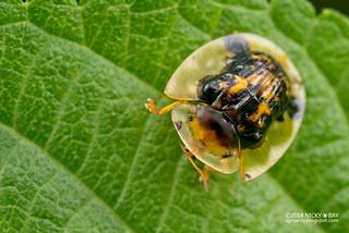 Tortoise beetle (Thlaspida biramosa) - DSC_9348