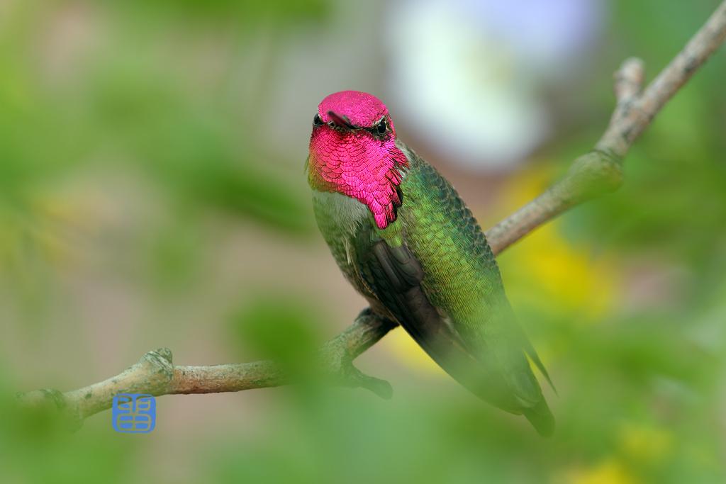 Anna's-Hummingbird-111814